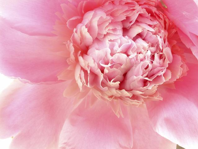 Pivonka, kvet
